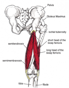Anatomy of the hamstrings - learning how to improve hamstring flexibility by fixing your pelvis position
